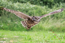 Rosliston Falconry Centre's European Eagle Owl in flight. 28/06/15.